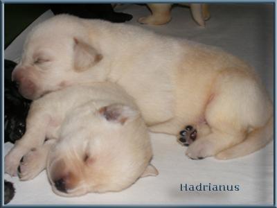 http://www.hadrianuslabradors.hu/alom/shade_elvis/20100607puppies3.jpg