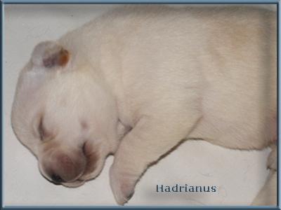 http://www.hadrianuslabradors.hu/alom/shade_elvis/20100607puppies4.jpg
