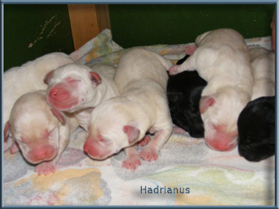http://www.hadrianuslabradors.hu/galeria/puppies/20100526puppies2.jpg