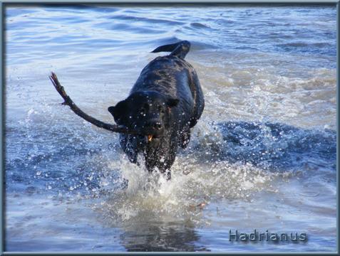 http://www.hadrianuslabradors.hu/galeria/uszas/uszas1.jpg