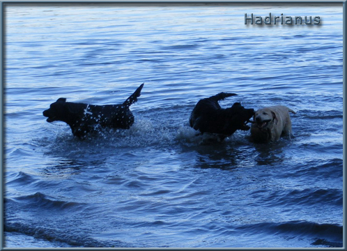 http://www.hadrianuslabradors.hu/galeria/uszas/uszas4.jpg