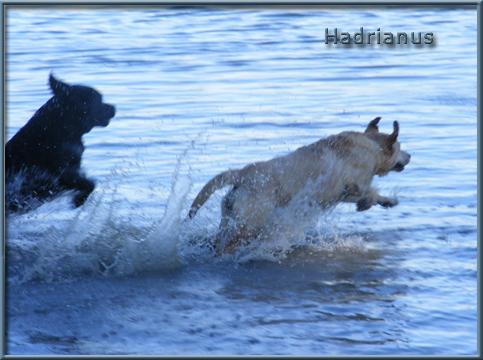 http://www.hadrianuslabradors.hu/galeria/uszas/uszas9.jpg